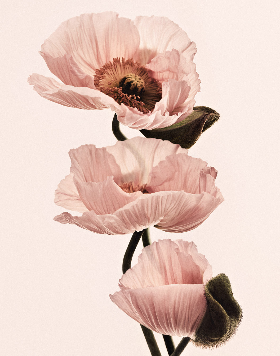 FS_POPPY_FLOWERS_4